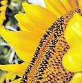 SunFlower Print by Lucinda  M Wickham