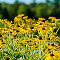 Sunflower Patch by John Ullrick