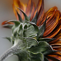 Sunflower by Sharon Mau