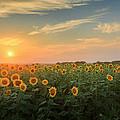 Sunflower Sundown by Bill Wakeley