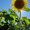 Sunflower With Sun by Donna Doherty