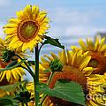 Sunflowers 1 2013 by Edward Sobuta