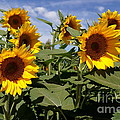 Sunflowers by Kerri Mortenson