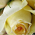 Sunkissed Yellow Rose by Danielle  Parent