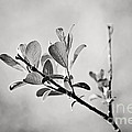 Sunlit Sprig of Leaves in Black and White Print by Natalie Kinnear
