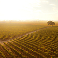 Sunrise Over The Vineyard by Diane Diederich