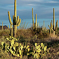 Sunset On The Saguaros by Sandra Bronstein