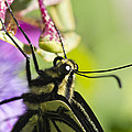 Swallowtail Butterfly by Priya Ghose