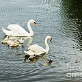 Swan Family by Jim  Calarese