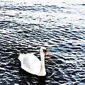Swan by Mark Rogan