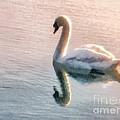 Swan On Lake by Pixel  Chimp