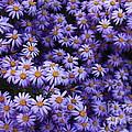 Sweet Dreams Of Purple Daisies by Carol Groenen