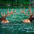Talbot Lake Elk by Terry Elniski