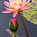 Tall Waterlily Beauty by Byron Varvarigos