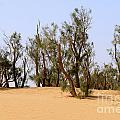 Tamarix trees on sand dune  Print by Dan Yeger