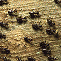 Termites On Wood With One Carrying by Konrad Wothe