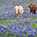http://images.fineartamerica.com/images-square-real-5/texas-donkeys-and-bluebonnets-texas-wildflowers-landscape-jon-holiday.jpg