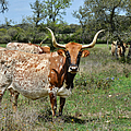 Texas Longhorns by Christine Till