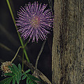 Thailand  Purple Wild Flowers by David Longstreath