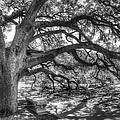 The Century Oak by Scott Norris
