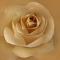 The Golden Rose Flower Print by Jennie Marie Schell