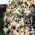 The Grapevines by Lisa Russo