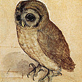 The Little Owl 1508 by Albrecht Durer
