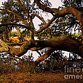 The Old Tree at the Ashley River in Charleston Print by Susanne Van Hulst