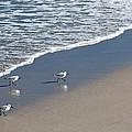 The Pied Sandpiper by Michelle Wiarda