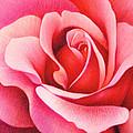 The Rose by Natasha Denger