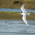 The Tern Sq Poster by Ernie Echols