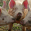 The Three Little Pigs by Steven  Michael