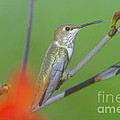 The Tongue Of A Humming Bird  by Jeff Swan