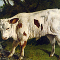 The White Calf by Gustave  Courbet