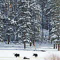 Three Bull Moose by Deby Dixon