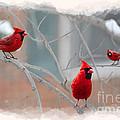 Three Cardinals In A Tree by Dan Friend