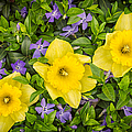 Three Daffodils In Blooming Periwinkle by Adam Romanowicz