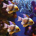 Three Pajama Cardinal Fish by Amy Vangsgard