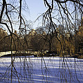 Through The Branches 1 - Central Park - Nyc by Madeline Ellis