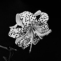 Tiger Lily In Black And White by Sandy Keeton