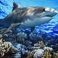 Tiger Shark Galeocerdo Cuvier by Owen Bell