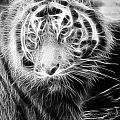 Tiger Tiger by Mark Kember