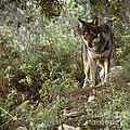 Timber Wolf by Angel  Tarantella