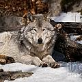 Timber Wolf Pictures 776 by World Wildlife Photography
