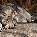 Timber Wolf Pictures 945 by World Wildlife Photography