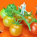 Tomato planting litt...
