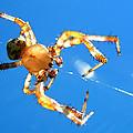 Trapeze Spider by Christina Rollo