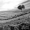 Tree In A Mowed Field. Auvergne. France by Bernard Jaubert