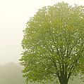 Tree In Fog by Elena Elisseeva