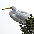 Treed Egret Print by Robert Bales